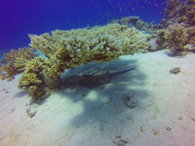 Raia de pontos azuis, Gordon Reef