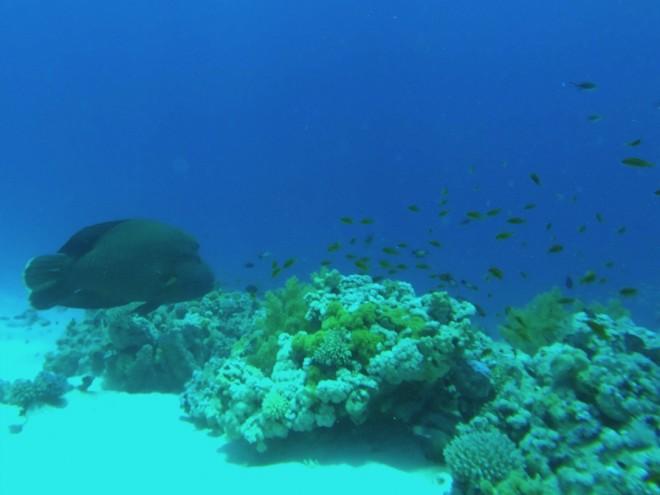 Peixe Napoleão, Gordon Reef