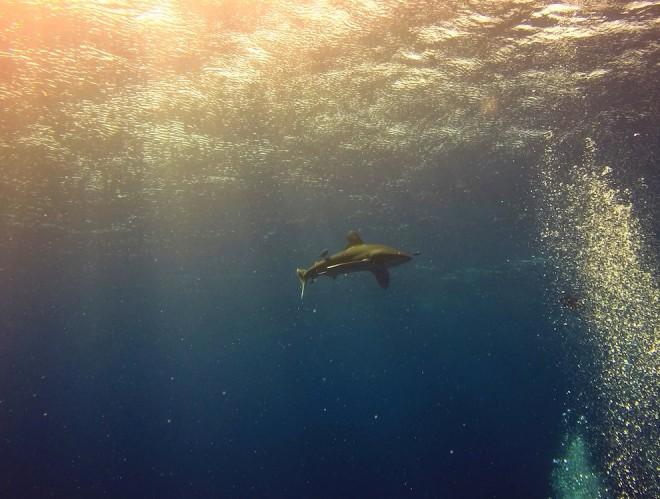 Tubarão de galha branca, Elphinstone Reef, Marsa Alam