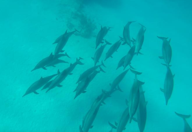 Golfinhos no Egito
