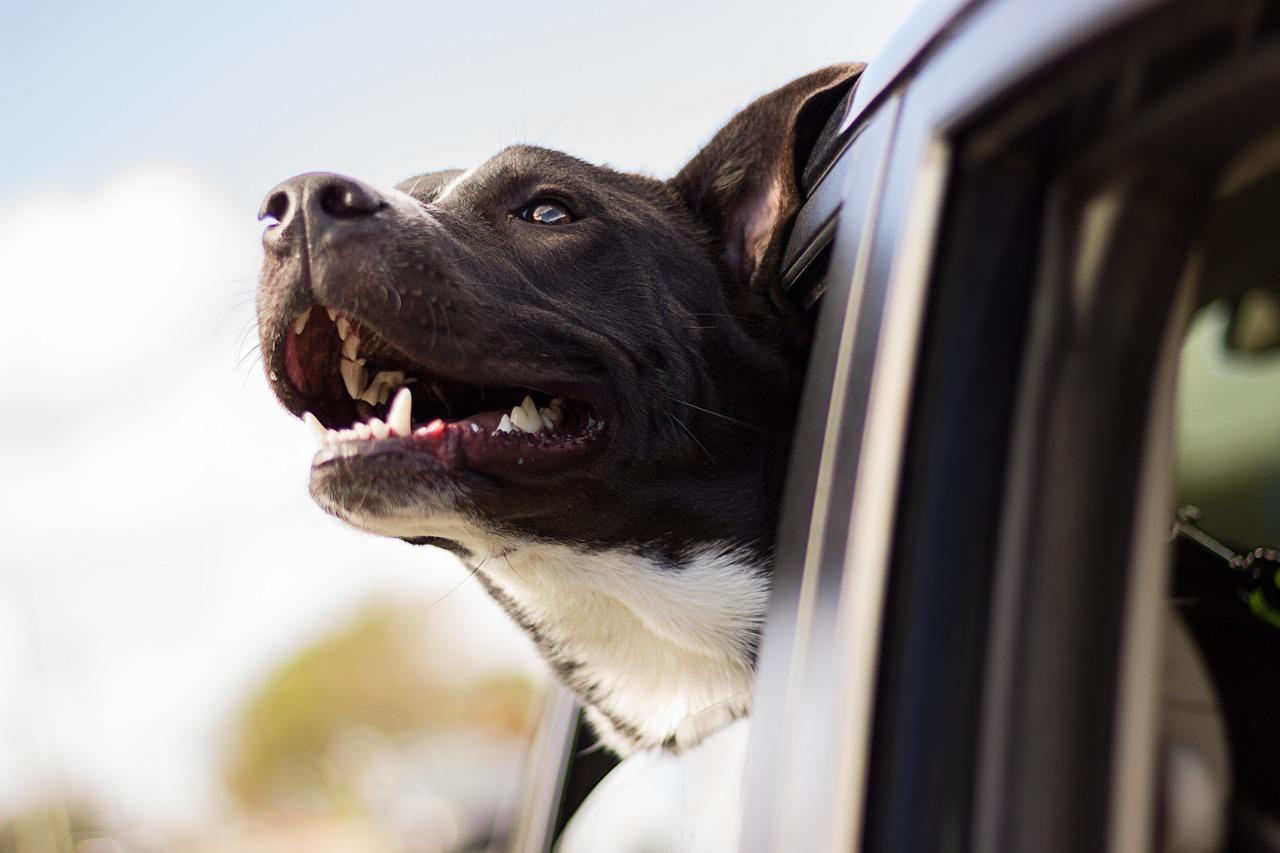 Viagem de carro com cachorro: o que levar?