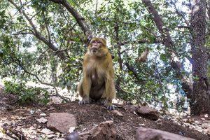 Macaco no Marrocos